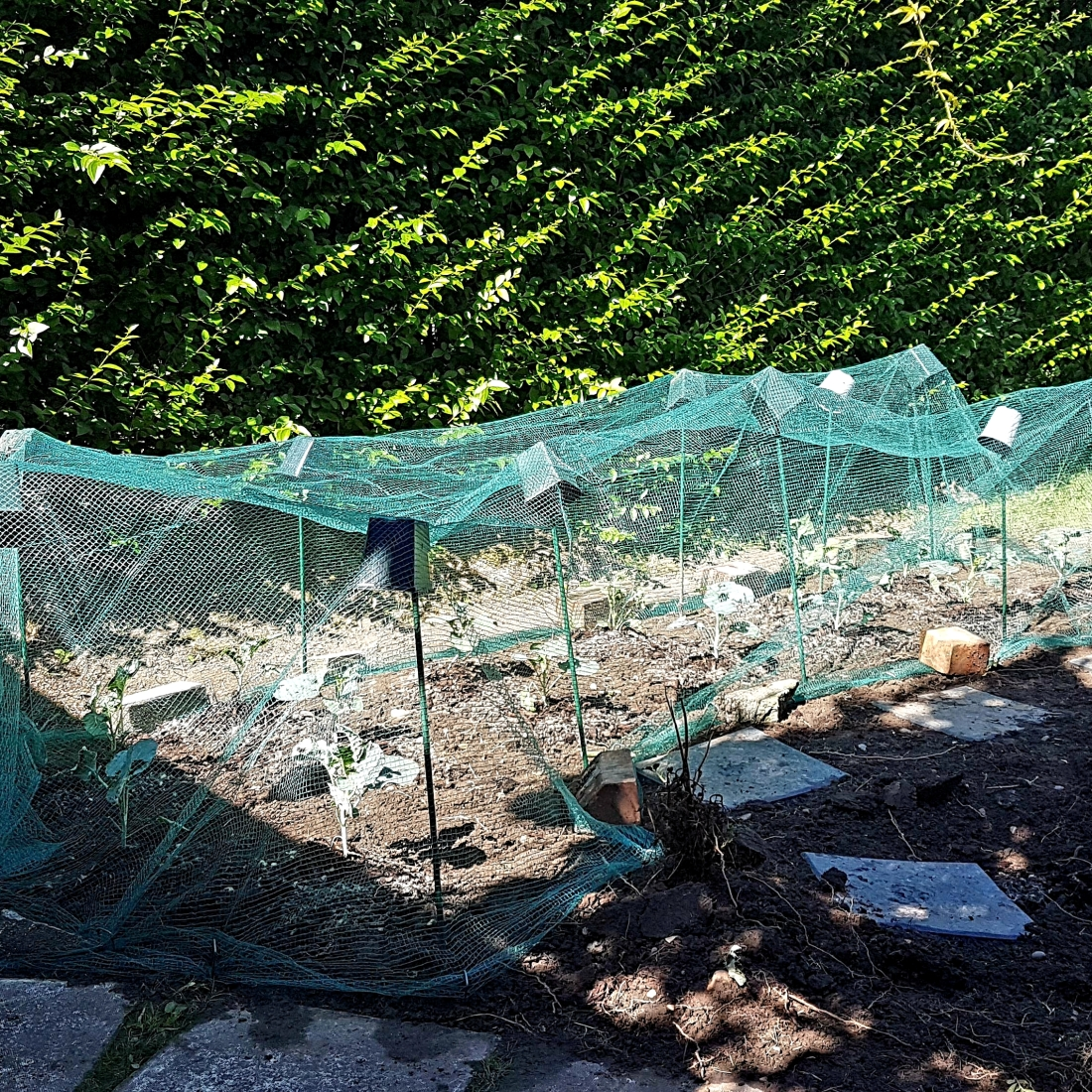 Brassicas, netted